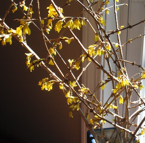 Force some forsythia branches for a winter boost