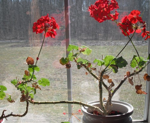 Geraniums in winter