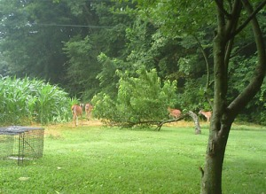 Day visitors - a whole herd of deer munching on peaches  8:45 a.m.
