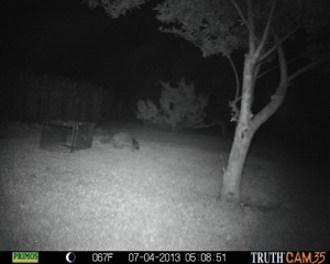 Raccoon stealing bait from trap 5:08 a.m.