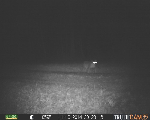 Bobcat in southern Indiana
