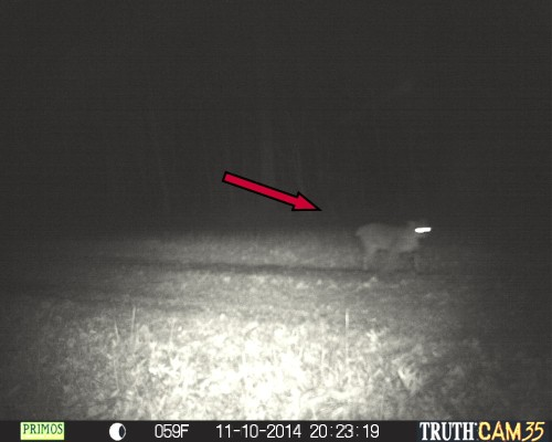 Bobcat - arrow points to stubby tail