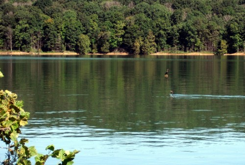 Cormorants fishing for breakfast at Lake Patoka