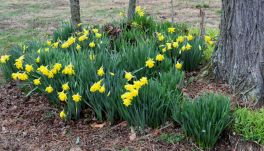 Bank of daffodils