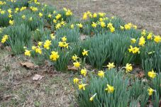 Daffodils by the woodshed. These are always the earliest to bloom.
