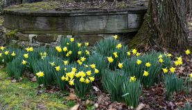 Daffodils by the old well.