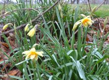 Another variety of two-colored daffodils.